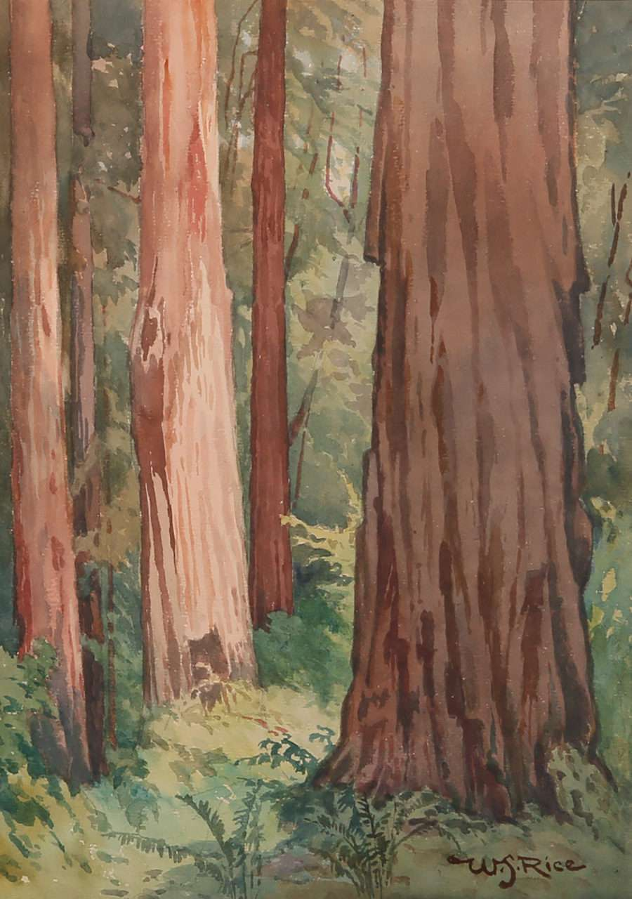 William S Rice Watercolor Of Ca Redwood Trees